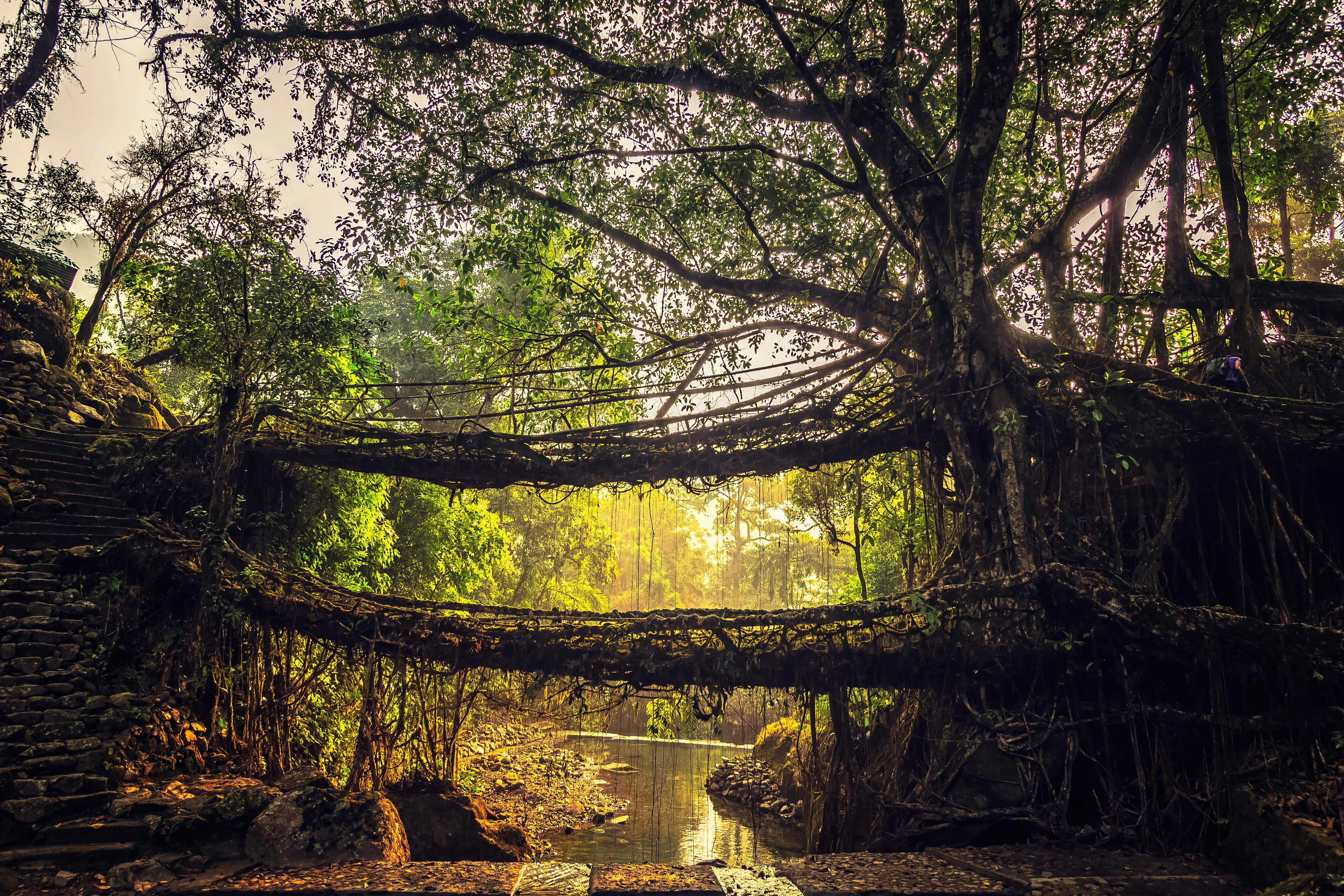 Man-made root bridge of Cherrapunji